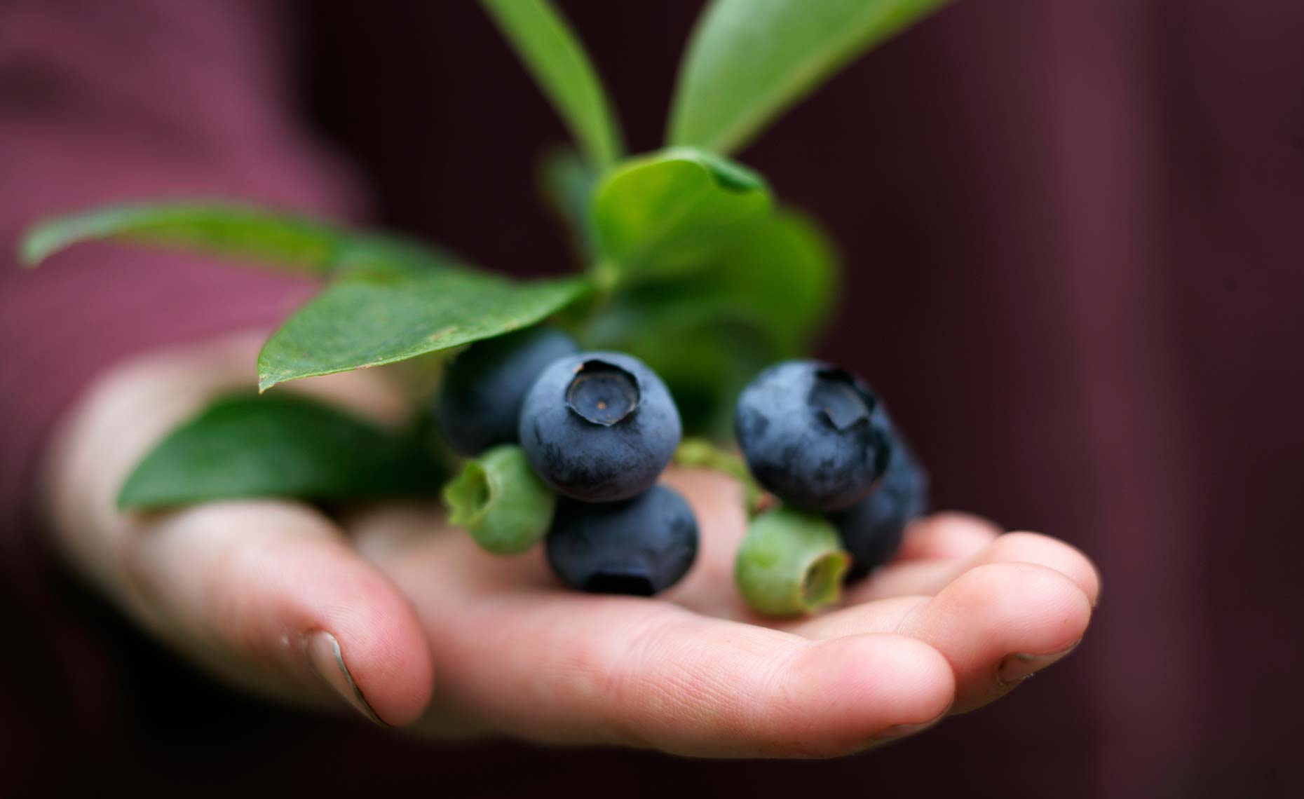 10-16_Nordeck_Hand Blueberries