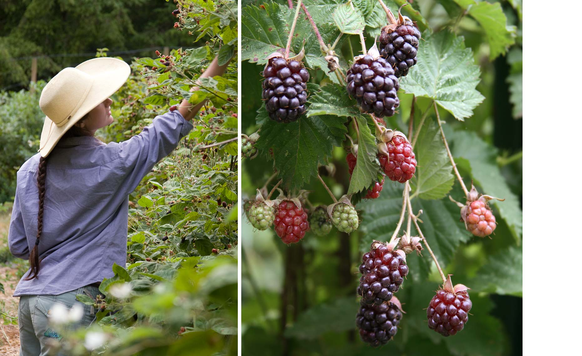 8-18_Nordeck_picking_berries